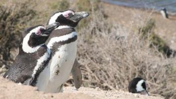 HALDE PINGOUINS GAYS.jpg
