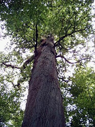 1-Un-Guisard-chêne-5-fois-centenaire-de-la-forêt-du-Nouvion-225x300.jpg