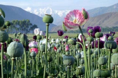 afghanistan pavot.jpg
