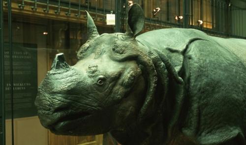rhinoceros-de-louis-xv-a-mnhn---service-audiovisuel.jpg