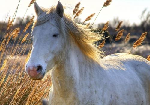 camargue le cheval camargue.jpg